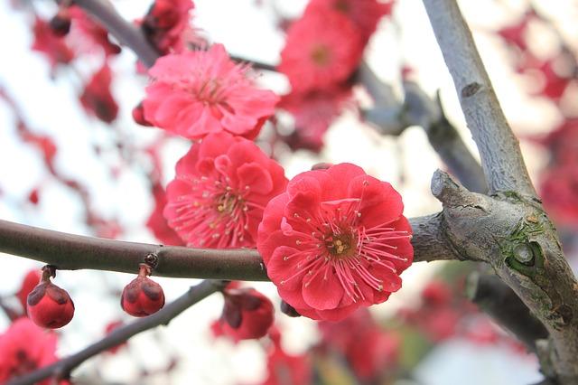 小石川後楽園の梅まつり2020見頃と開花状況!アクセス駐車場まとめ