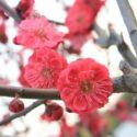 小石川後楽園の梅まつり2019梅香る庭園の開花状況とアクセスや駐車場まとめ