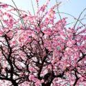梅の里公園梅まつり2019の日程や開花状況は?駐車場や混雑と口コミも調査